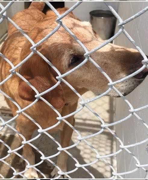 "OLD YELLER BEGS, PLEADS...was he left out during the hurricane? Picked up stray by ANIMAL CONTROL 8/28, and no one has claimed. He's a great dog, but very VERY UPSET to be at the shelter. He literally begs, pleads ""Someone get me outta here!"""