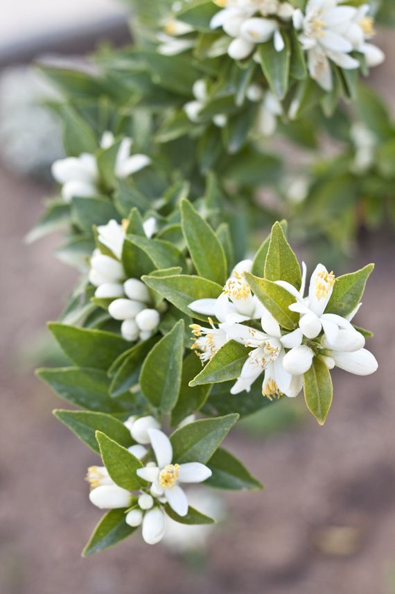 Orange Blossoms  I used to live in Florida and loved driving past the orange groves when they were blossoming; oh what a great smell and pretty too