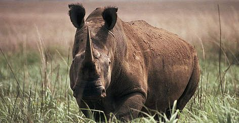 Northern white rhinoceros (Ceratotherium simum cottoni), Garamba National Park, Democratic Republic ..only four left in the world.