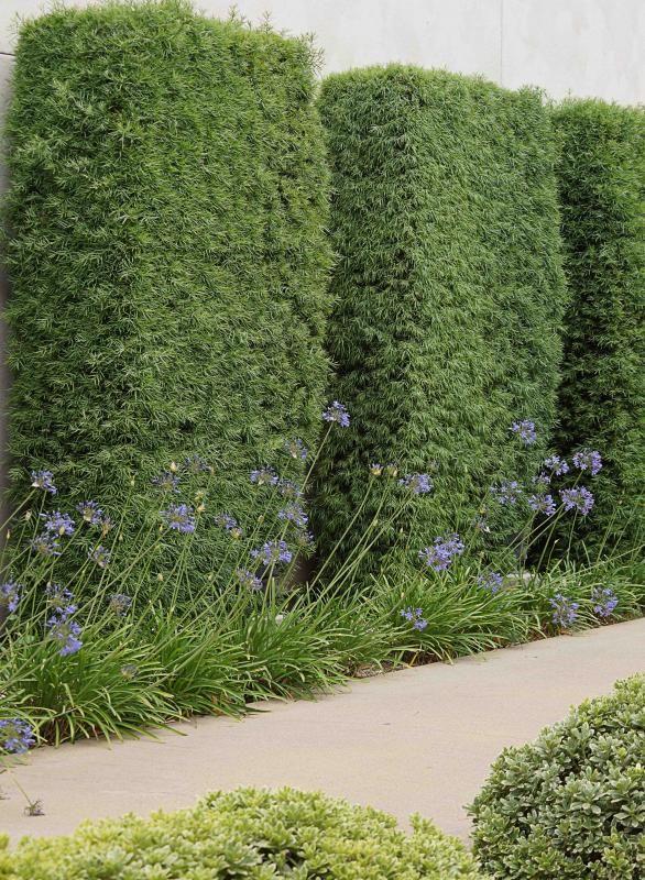 Podocarpus and Agapanthus