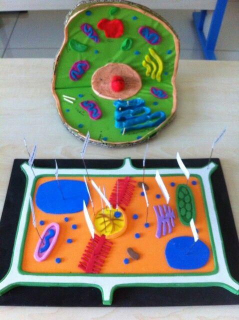 Bitki ve hayvan hücre modeli