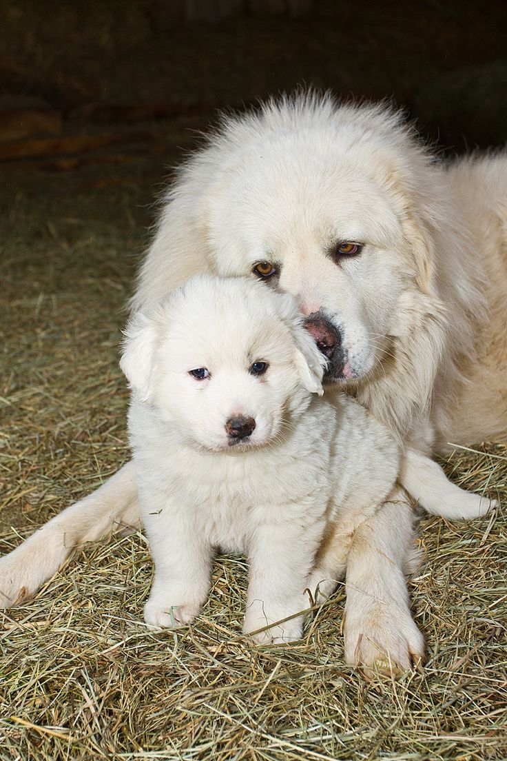 17 Great Eyeliner Hacks: 17 Best Images About Great Pyrenees On Pinterest