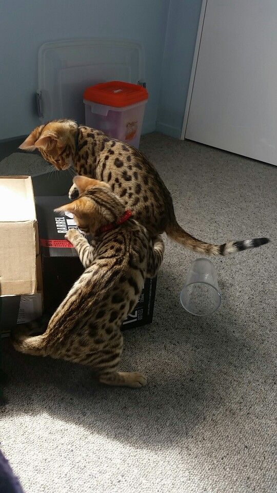Bengal kittens playing with boxes