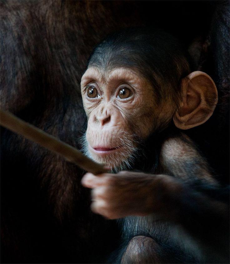 Chimpansee in jungle