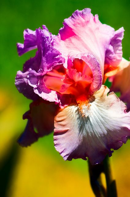 Bearded Iris - my favourite flower. The colours showing the depth and sheer beauty of this flower. JH