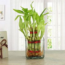 Send Indoor Plants Online with Ferns N Petals and surprise your loved ones plants lover with this amazing gift! Order from wide range of Indoor plants with free delivery to your door step!