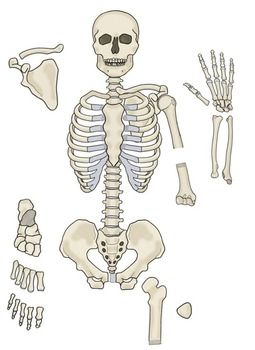 Printable LIFE SIZE Human Skeleton Model