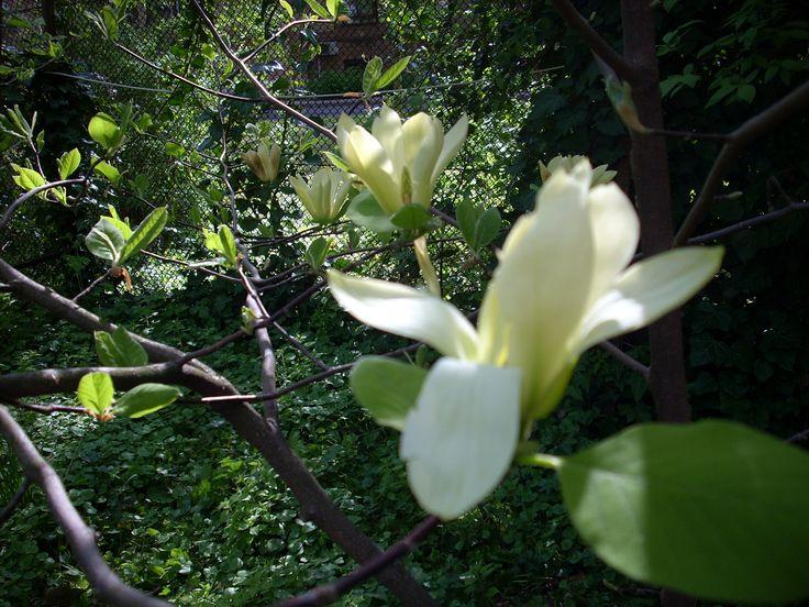 Yellow magnolia, Budapest, Elte Füvészkert