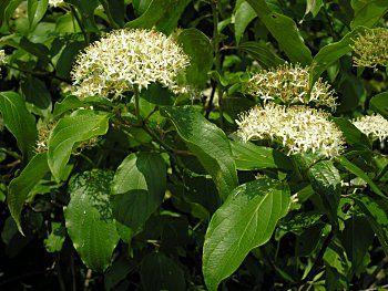 Swamp or Silky Dogwood (Cornus amomum) flowers. Wetland understory plant