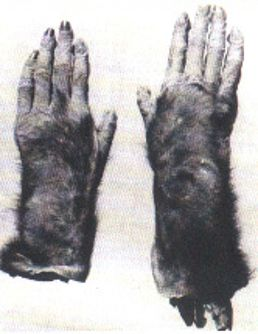 Are These the Hands of a Wildman? -Today, I wanted to continue looking at old historical cases concerning Bigfoot and variations of the creature. Many times these older cases are passed over or totally forgotten. Some of these cases have what appears to be good evidence and many still have unanswered questions. I think it is important for us to look at these old cases. It gives us more of an understanding of where we are today and how we might improve on our research. Plus knowing the…