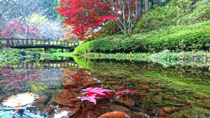 だいぶ紅葉が里に下りて来ているので、満願寺の紅葉も、そろそろ時期ではないかと立ち寄ってみました。予想通り、だいぶ、いい感じに色づいてきていましたが、まだ、あともう少しって感じです。5日後くらいなら、ちょうど、いい色合いになっているかもしれません。 ちょっと残念だったのは、ここのところの雨の影響か、庭の地面が荒れちゃっていて、満願寺本来の庭の美しさが感じられなかったことでしょうか・・・。(^^;  満願寺のカエデの紅葉と竹林   ツツジとカエデの紅葉   水面に浮く紅葉したカエデの落葉   まだオレンジ色のカエデの葉とススキ
