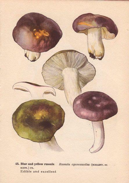 Vintage Botanical Mushroom Diagram Print, Wall Art Illustration ...