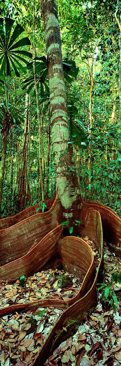 interesting roots Rainforest, Daintree, QLD
