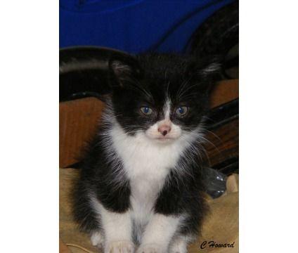 Sweet Manx Kitten is a Male Manx Kitten For Sale in Salem OR