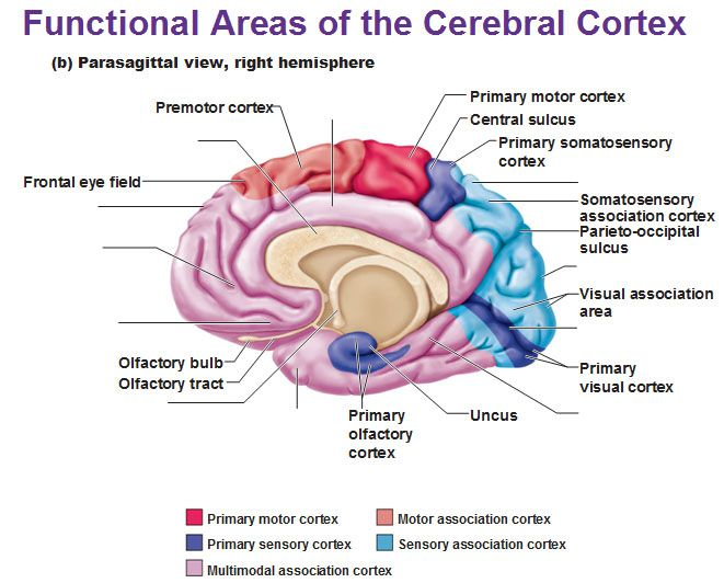 parasagittal view of cerebral cortex primary motor sensory association multimodal functional areas