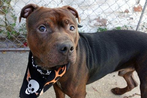 CHILLI - A1096324 - - Manhattan  Please Share:TO BE DESTROYED 11/14/16 A volunteer writes: Trying to capture how stunning Chili's coat is, is like, well….trying to photograph a unicorn! Staff and volunteers have already voted him Best Dressed, as his legs are a rich mahogany color melding into black on his back…all colors shining with apparent good care. Chili is a bit shy in general, and hand shy as well, so we simply chatted as we walked so that he could