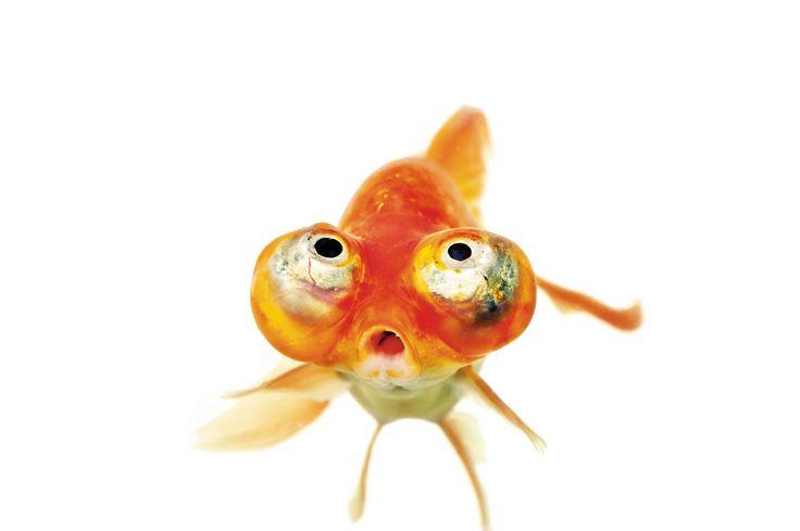 Au XVIe siècle, le Japon s'est pris de passion pour l'élevage de poissons rouges, suivi par l'Europe et les États-Unis. Des dizaines d'espèces étranges ont ainsi émergé. - National Geographic France