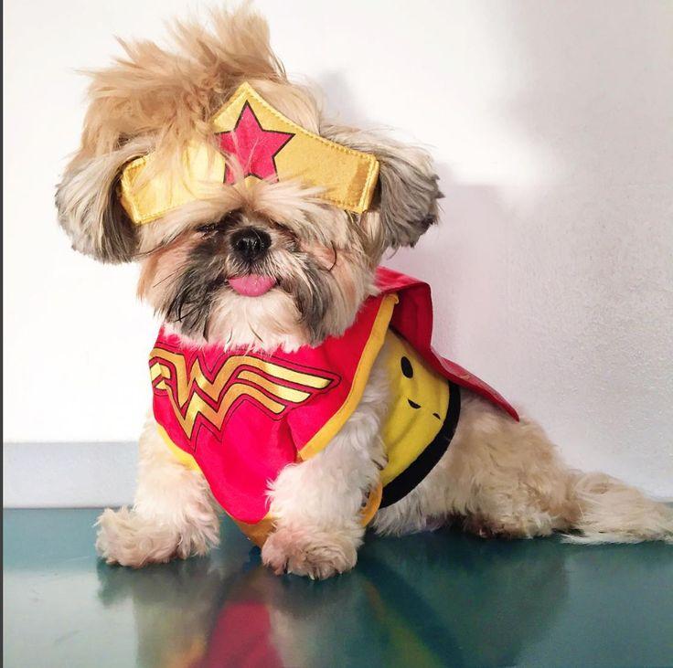 70 Male Shih Tzu Dog Names Maltese Shih Tzu Shih Tzu Dog Dog Names