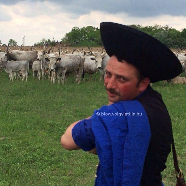 #work #mik #foto #photo #folk #tradition #agriculture #heritage #mik #Hortobágy #Alföld #Hungary #shepard #cattle #livestock