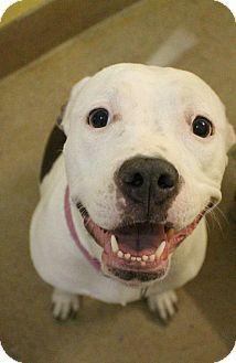 American Staffordshire Terrier Mix Dog for adoption in Canon City, Colorado - Queenie