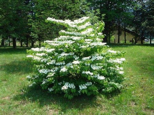 viburnum plicatum mariesii (doublefile viburnum)