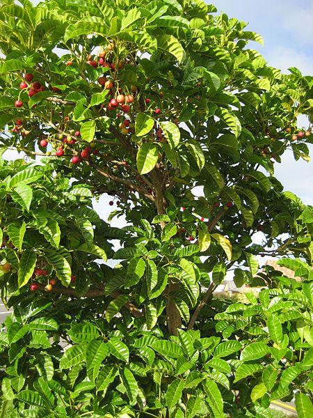 Puriri with fruit
