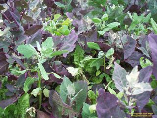 HOW TO IDENTIFY WEEDS - Gardener Scott