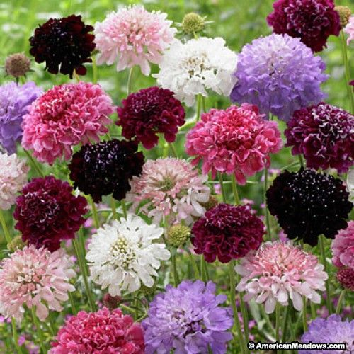Red and Pink and Purple and White Pincushion Flower Seeds Imperial Mix, Scabiosa atropurpurea Imperial Mix, Pincushion Flower