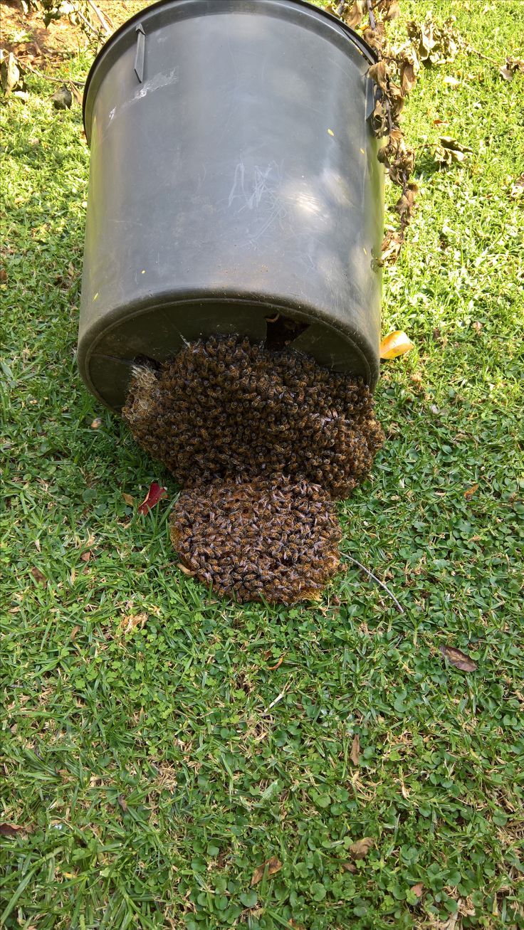 Bee-removal in Johannesburg , in a dustbin in Roodepoort area
