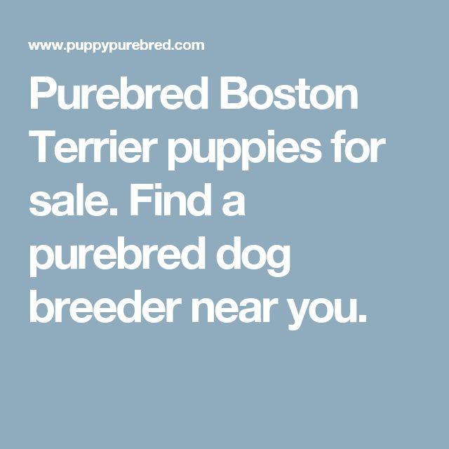 Purebred Boston Terrier puppies for sale. Find a purebred dog breeder near you.
