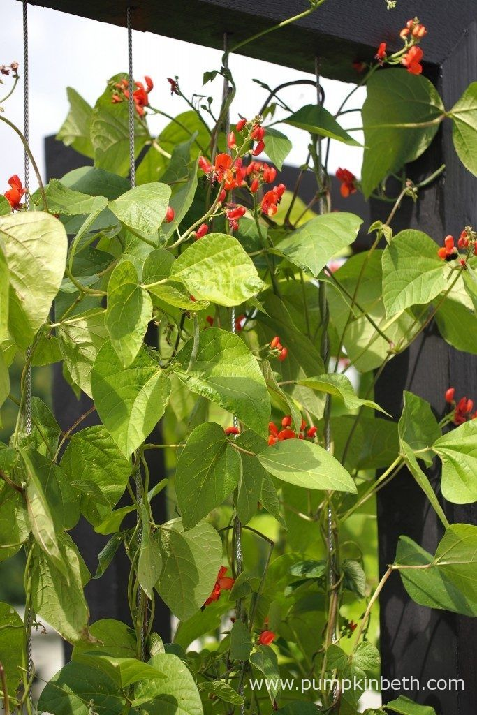 A closer look at runner bean supports which are ideal for growing beans in a narrow bed. Pictured in the RHS Kitchen Garden, at the RHS Hampton Court Palace Flower Show 2017.