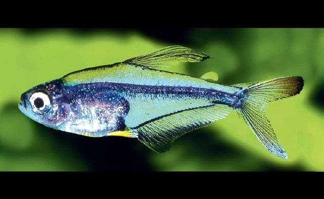 17 best images about tiny fish for tiny tanks on pinterest for Good freshwater fish