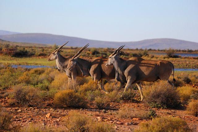 Eland herd. © John McIlvaine