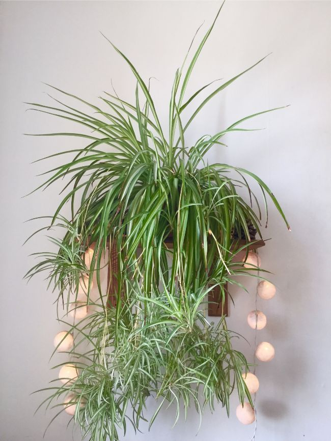 Why Does My Spider Plant Have Brown Tips Kamerplanten