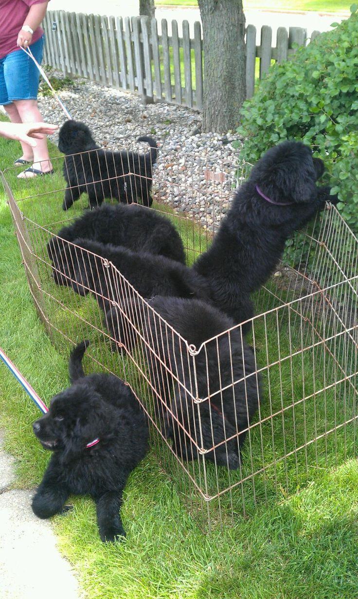 6 Newfoundland puppies