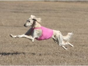 saluki photo | salukis saluki puppies 1076 19 miles breed saluki 198 location san ...