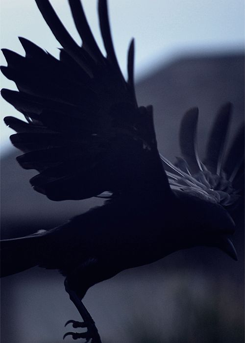 Raven with wings outstretched