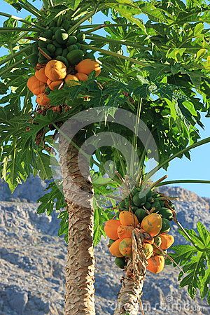 Papaya fruits of different maturity on the trees. Pefki. Rhodes, Greece