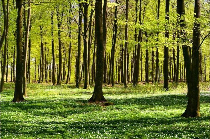 """THIS IS IT!! Love love love....trees in sunshine and """"vitsippor"""" ( wood anemone) all over the ground <3 Forest Glade - Nonwoven Fototapet - 255 x 384 cm på Tradera.com -"""