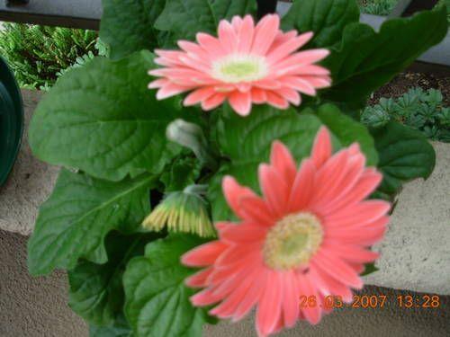 Gerber Daisies- Wedding Flowers!