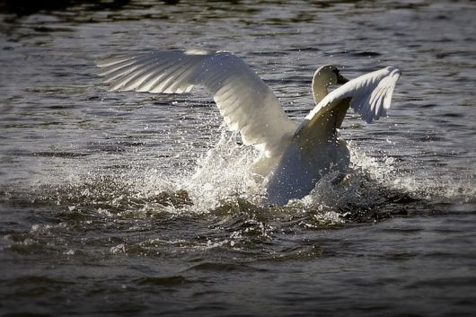 Swan management plan announced | News | The Cambridge Student
