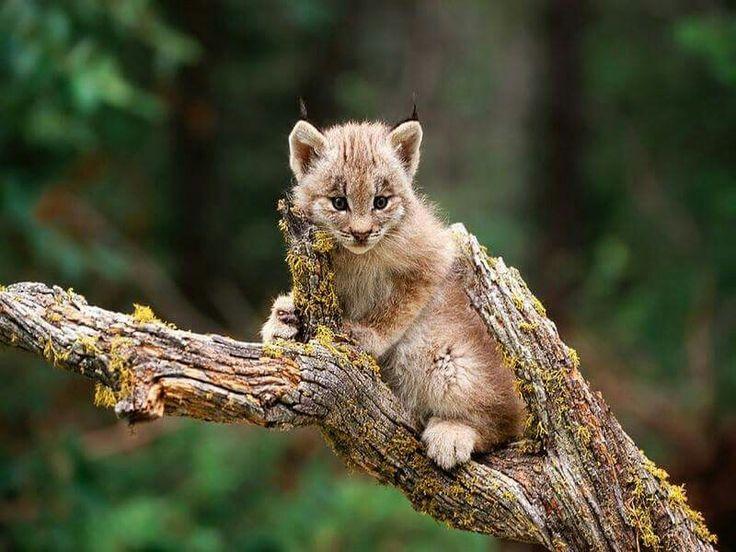 A lynx kitten