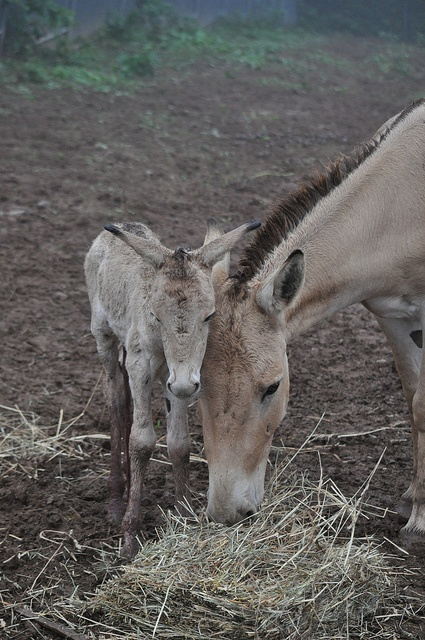 Beautiful photo of mother Onager and her baby eating their hay. The wild asses are much bigger than common donkeys.