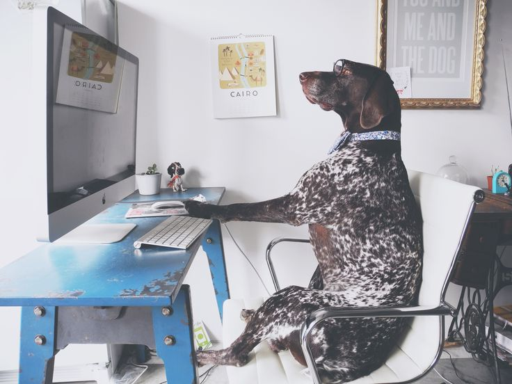 Travis the German Shorthaired Pointer - another busy day at the office.
