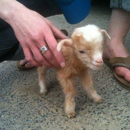 An Extra Mini Goat! Well my head just exploded hes so cute!