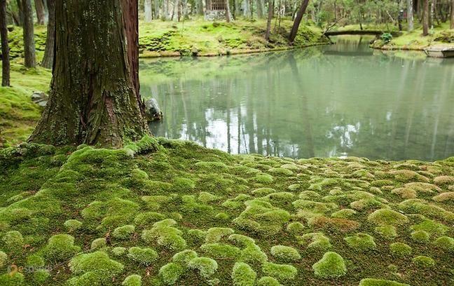 Сад мха – #Япония (#JP) Где еще могли превратить выращивание банального мха в искусство? Конечно же, в Японии. В пригороде Киото, на территории монастыря, находится самый известный в мире Сад мха, между прочим, охраняемый ЮНЕСКО.  ↳ http://ru.esosedi.org/JP/places/1000090369/sad_mha/