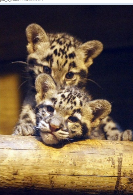 baby leopards born in a french zoo - only .5 pounds each!