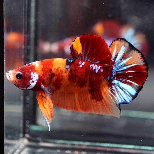 Live Betta Fish Fancy Multi Color Koi Halfmoon Plakat Hmpk Male 512