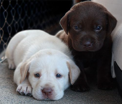 White and choclate #lab #puppies. Oh my, absolutely adorable!
