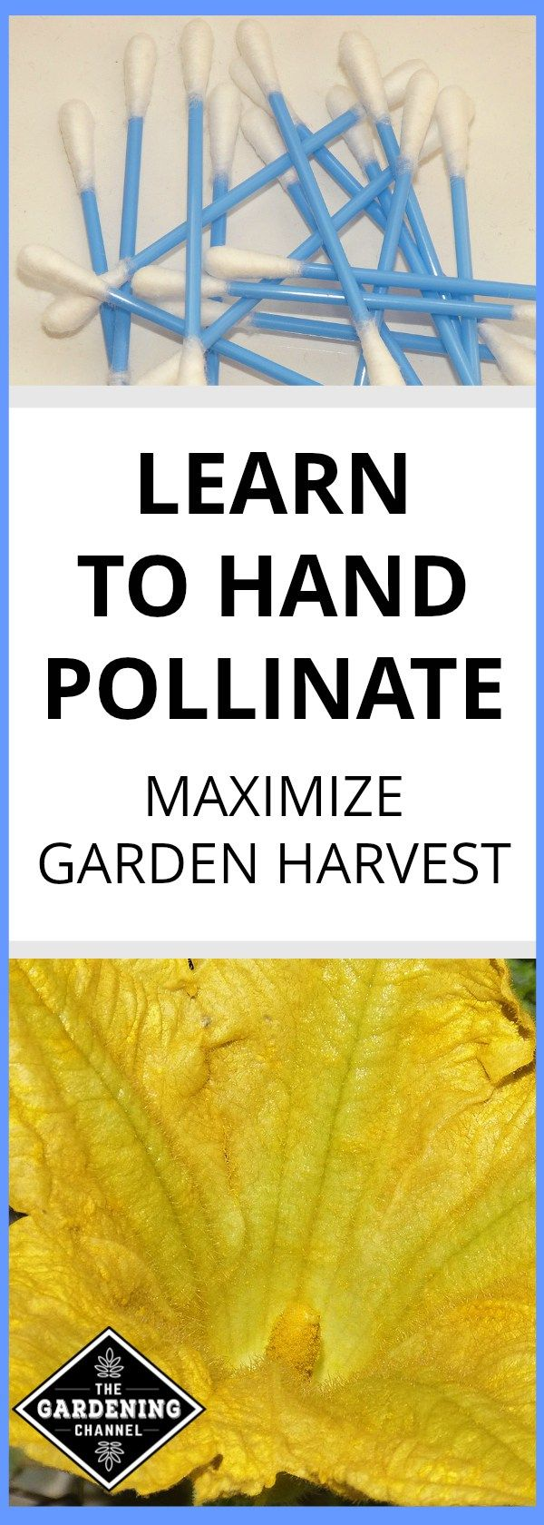 Increase vegetable garden yields by pollinating the garden. Learn how to hand pollinate using this method.